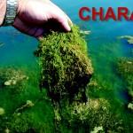 Chara