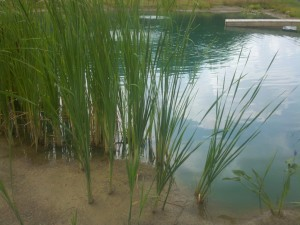 cattails pond plants
