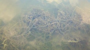 Toad Eggs