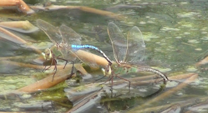 pond dragon flies