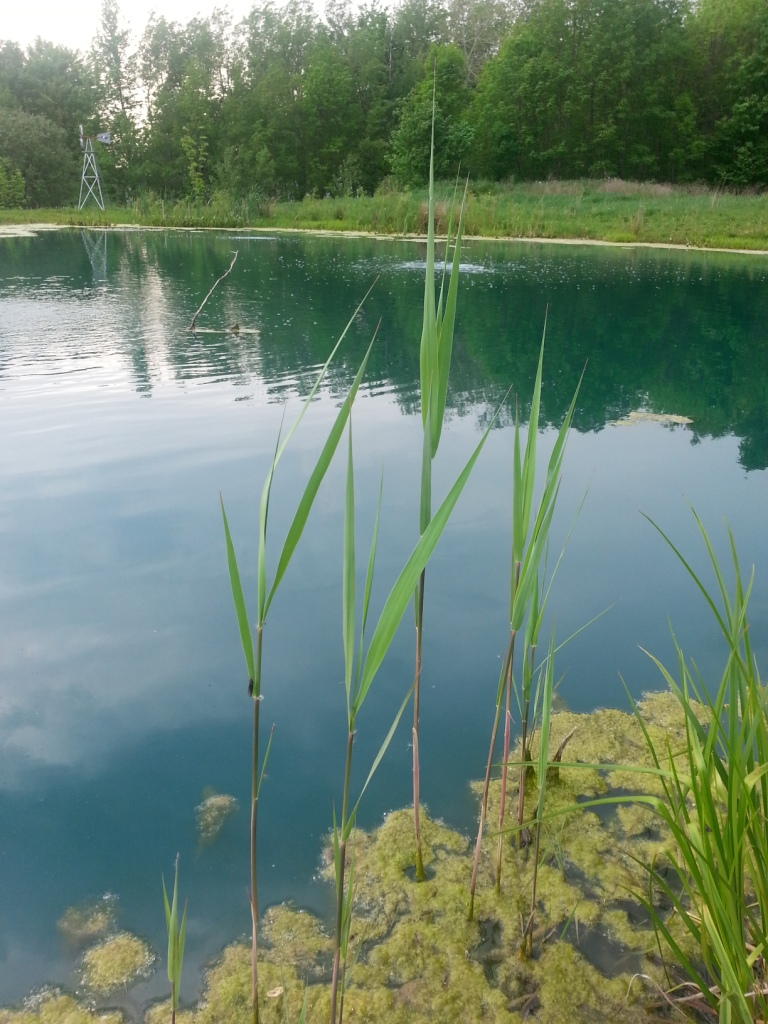 Pond Weed Phragmites Good Or Bad