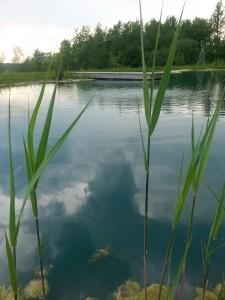 Pond weed Phragmites