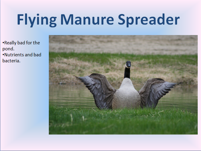 Geese, the Flying Manure Spreader