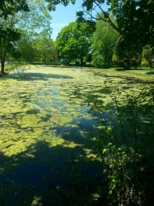 Pond covered in algae-weeds underneath