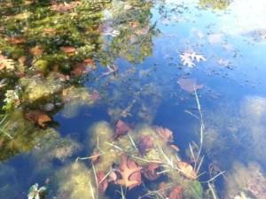 pond weeds, Leaves and Algae