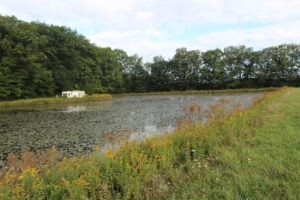 Watershield on 2 acre pond