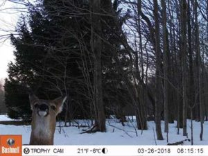 Deer smiling for the camera